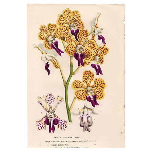 Tricolor Orchid, C. 1860