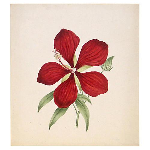 Hibiscus, C. 1850