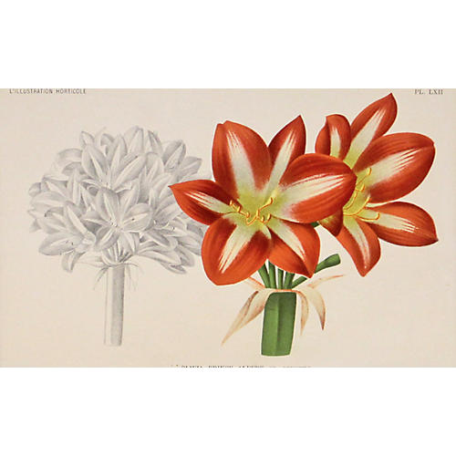 Red Variegated Lily w/ Drawing, C. 1860