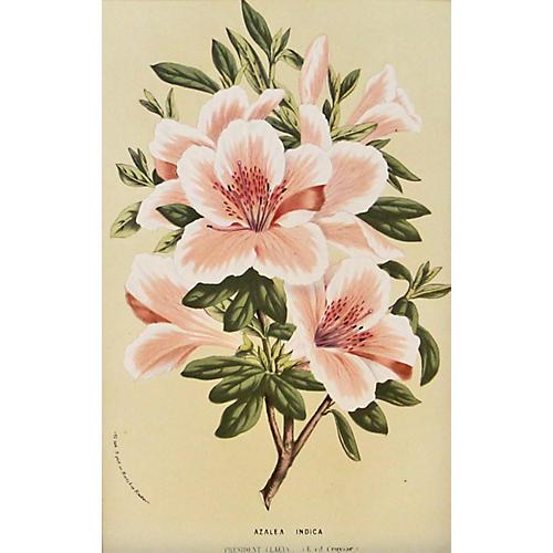 Pink & White Azalea Indica, C. 1860