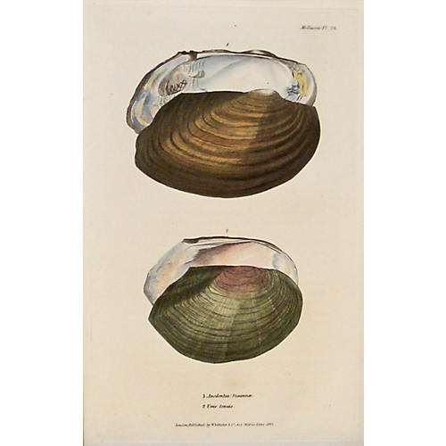 Brown & Green Mollusk Shells, C. 1840
