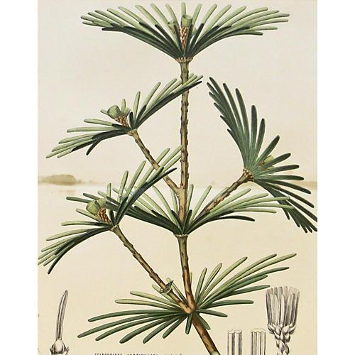 Japanese Umbrella Pine, C. 1860