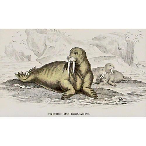 Walrus, C. 1840