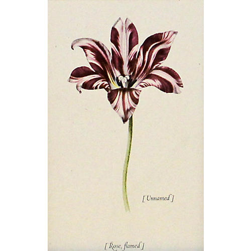 Rose Flamed Tulip, 1950