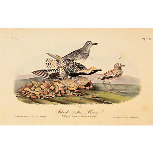 Audubon' Black-bellied Plover, C. 1840