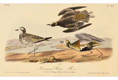 Audubon's Am Golden Plover, C. 1840