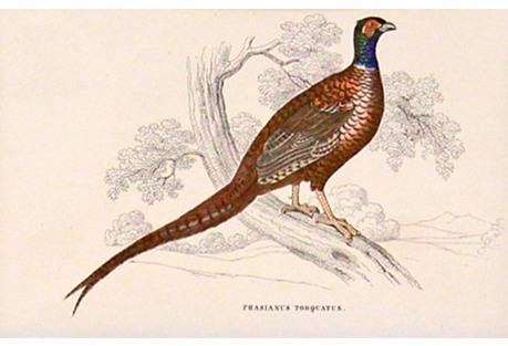 Pheasant, C. 1840