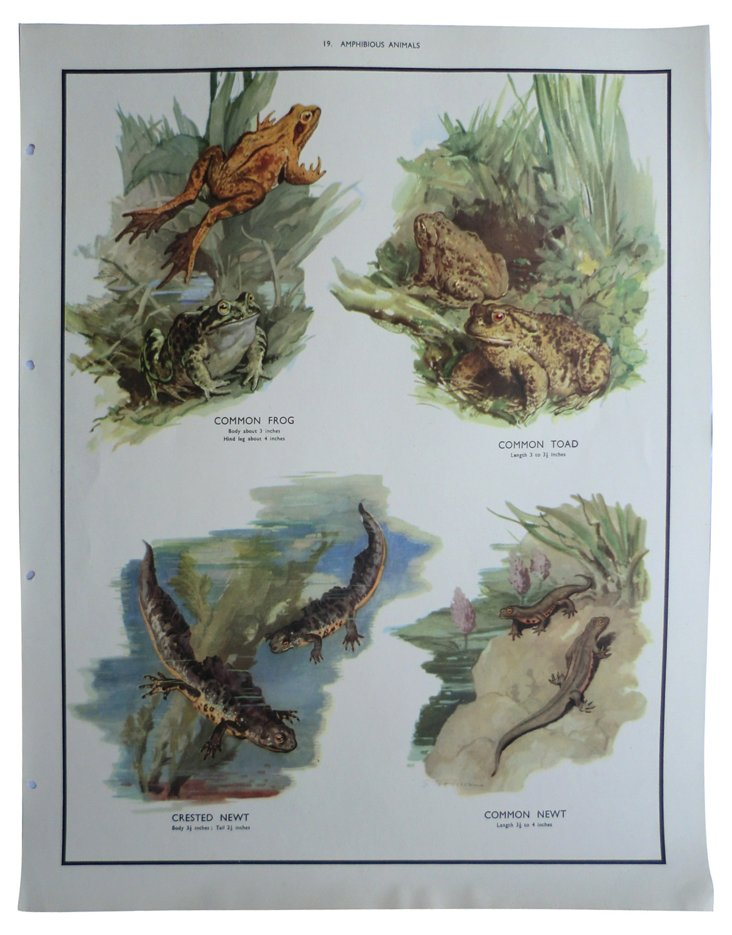 1930s Amphibian Teaching Poster