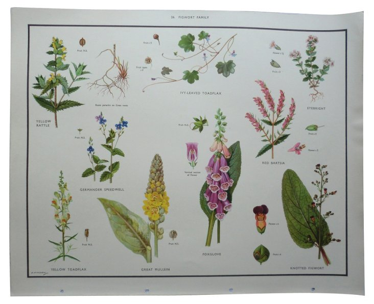 1930s Botanical Science Poster