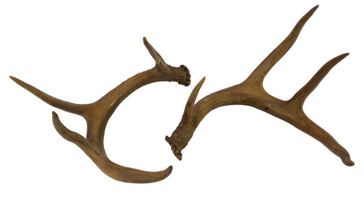 9-Point White-Tailed Deer    Antlers
