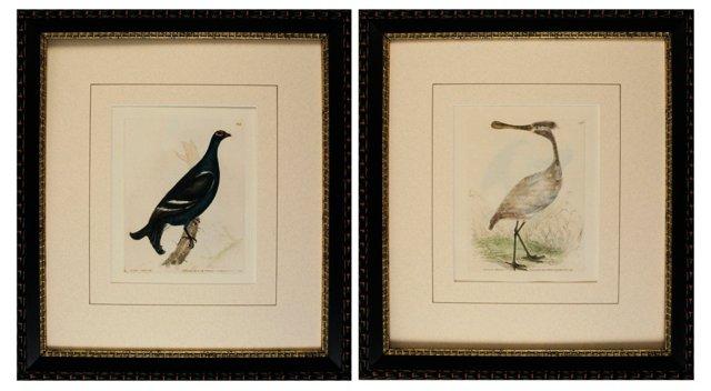 Lewin Bird Engravings, 1793, Pair
