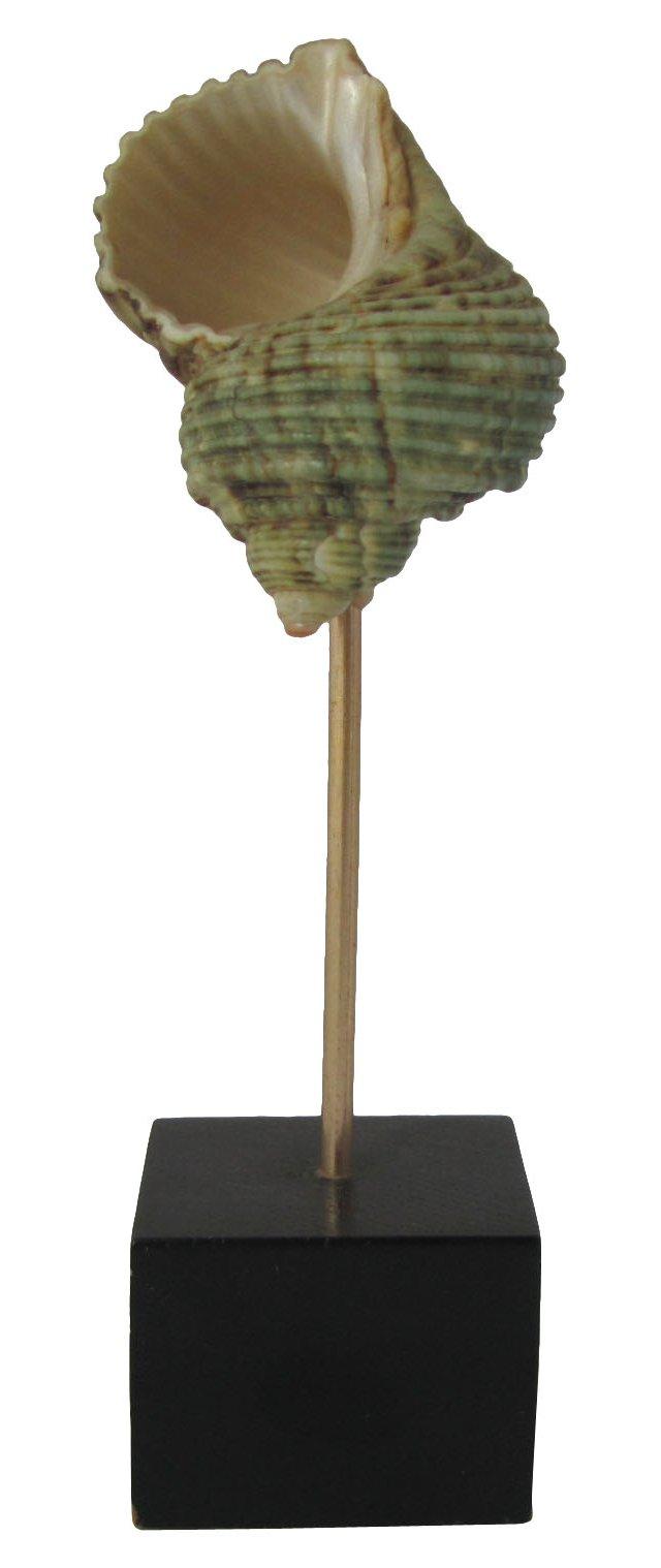 Seashell on Wood Base