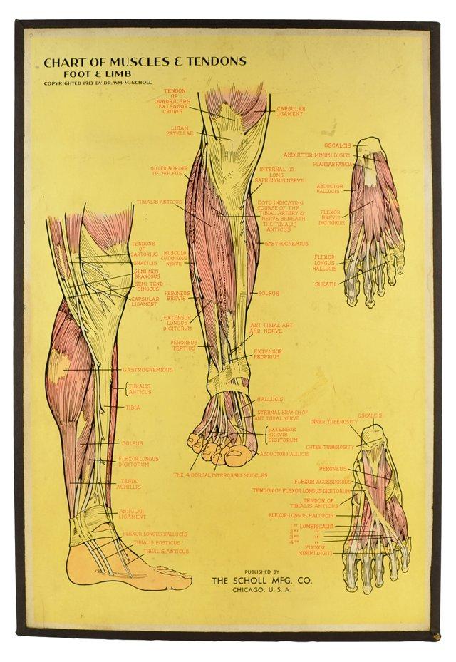 Dr. Scholl's Foot & Limb Muscles Chart
