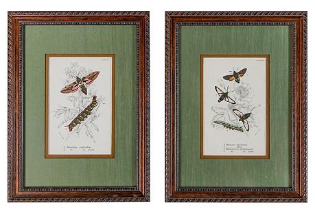 Framed Moth Print Engravings, S/2