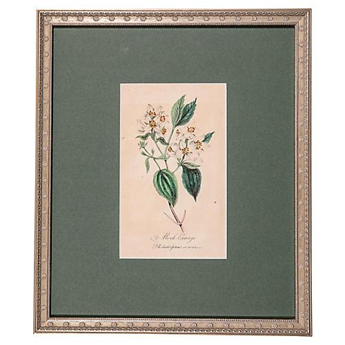 19th-C. Mock Orange Blossom Engraving