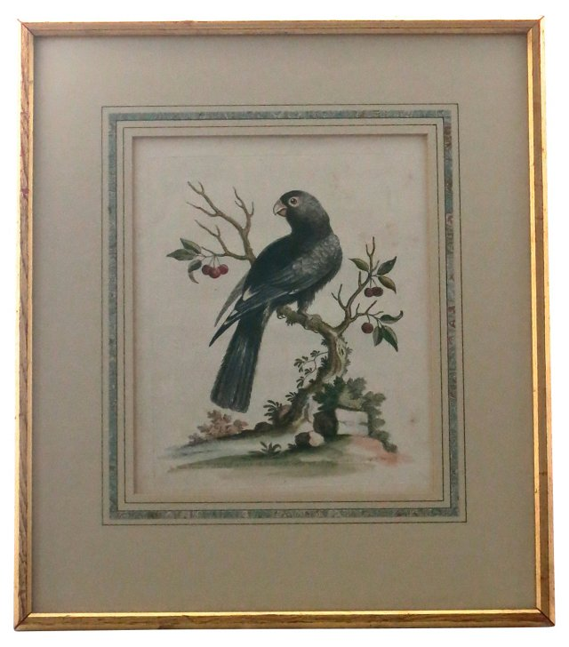 Black Parrot Etching