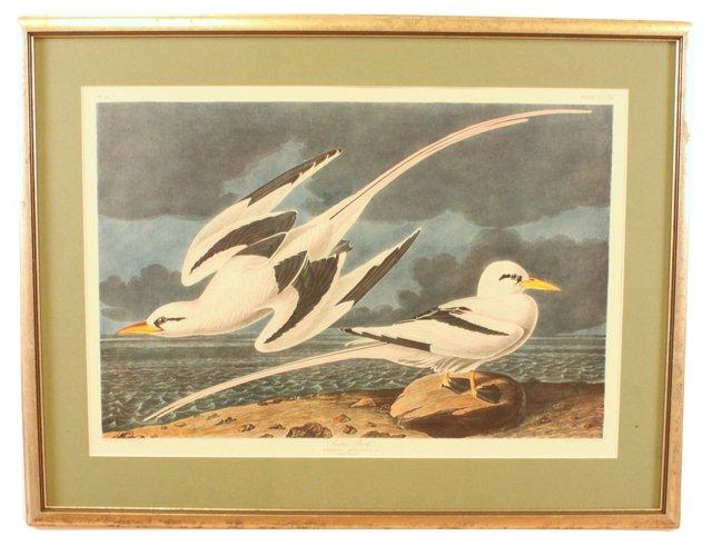 Tropic Bird, Audubon Leipzig Edition