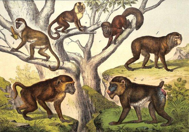 Mandrill Monkeys, 1886