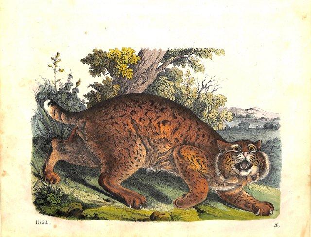 The Lynx, 1854