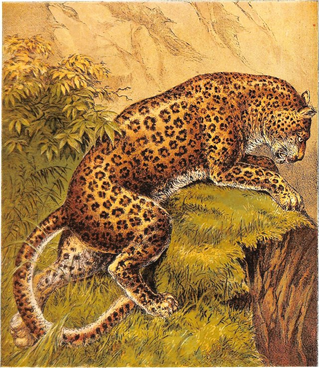 The Leopard, 1875