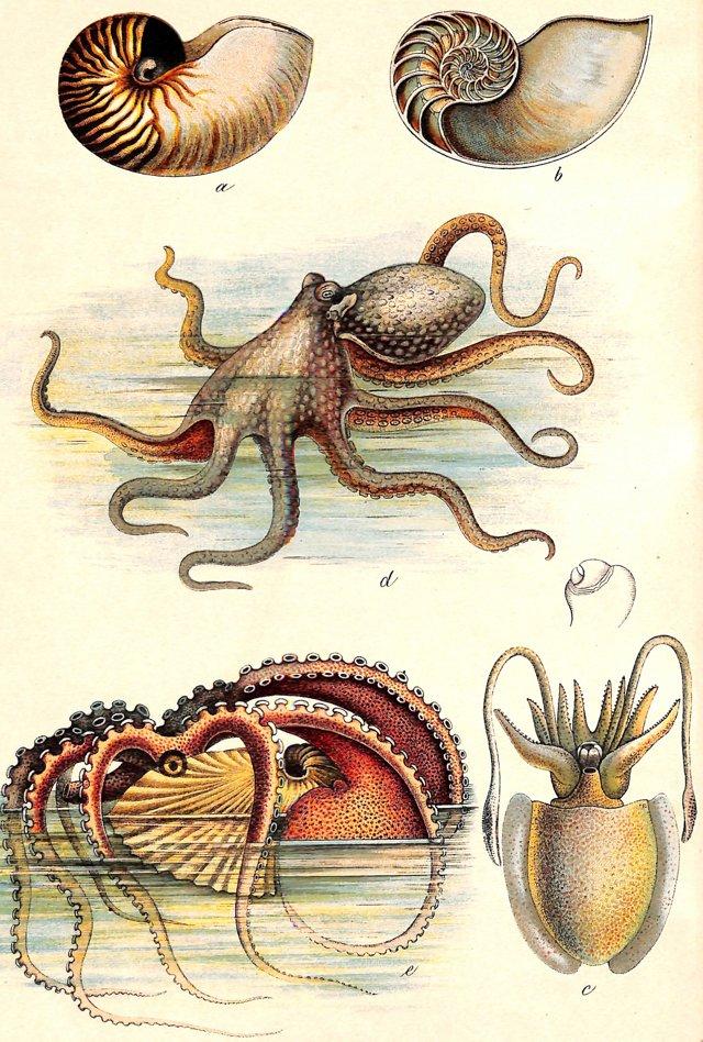 Octopi & Paper Nautilus, 1886