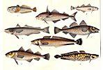 Cod, Haddock, Hake, 1886