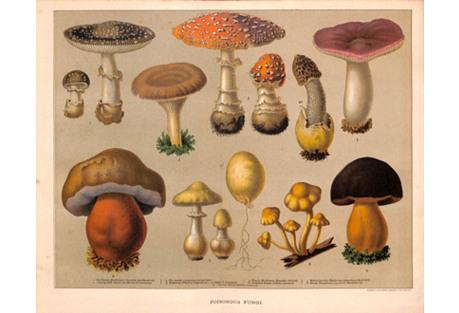Poisounous Mushrooms, 1900