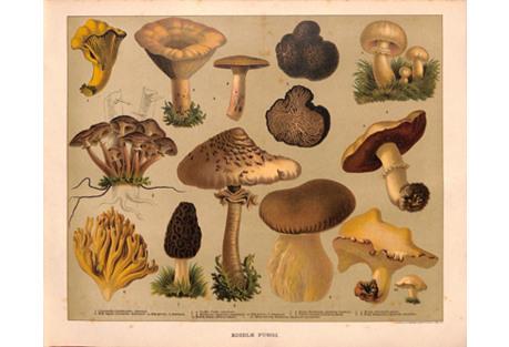 Mushrooms, Edible, Truffle, 1900