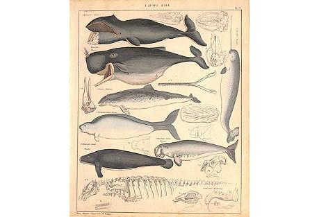 Marine Mammals Print, 1840