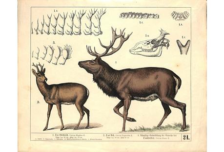 Engraving of Deers, 1858