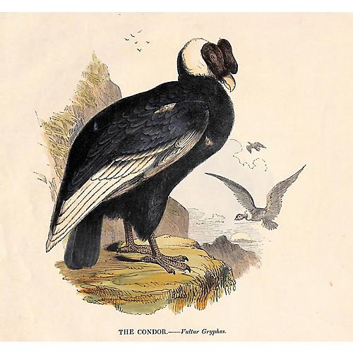 Condor Engraving, 1843