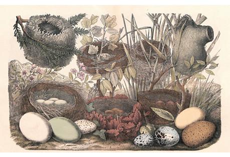 Songbird Nests & Eggs, 1868