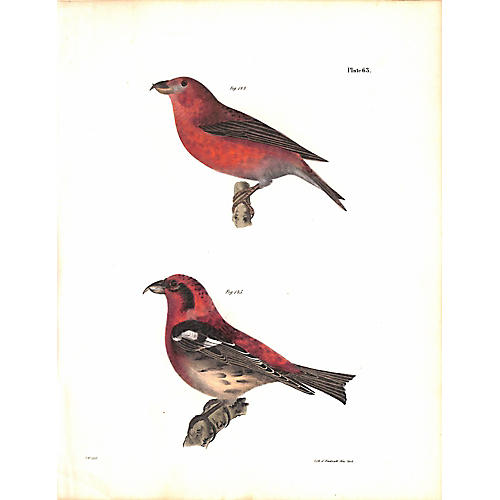 Crossbills Print, 1843