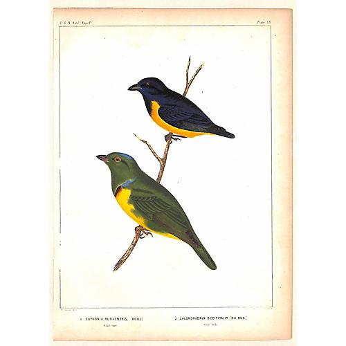 Rufous-Bellied Birds, 1855