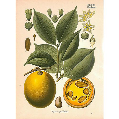 Botanical Print, St. Ignatius Bean, 1887