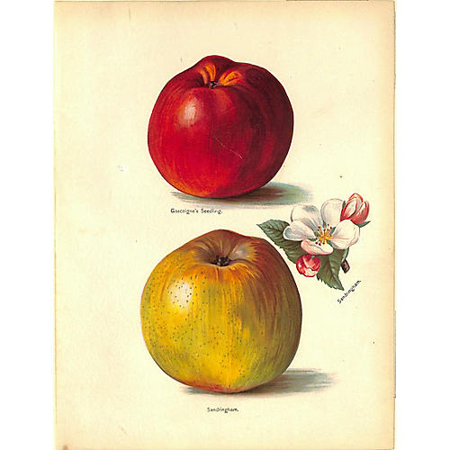 Apples, Antique Print, 1892