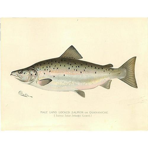 Male Salmon, Game Fish, 1900