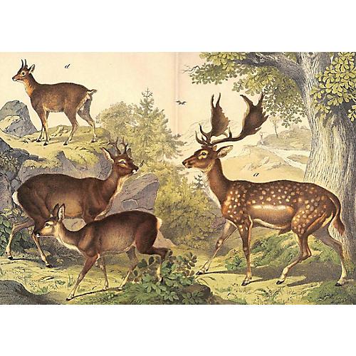 Deer, Fallow, Roe, Klipspringer, 1886