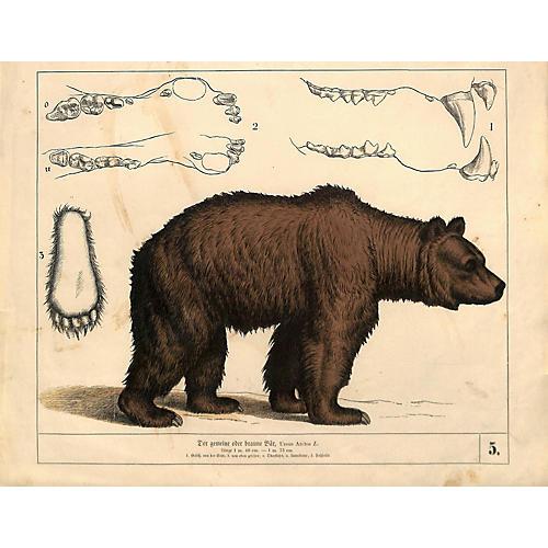 Brown Bear, Ursus Arctos, Antique Print