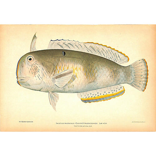 Tropical Fish, Razor Fish, Antique Print