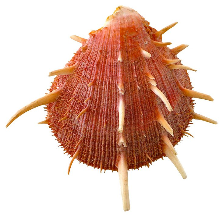 Pink Spiny Scallop Shell