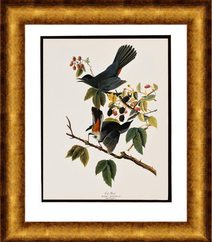 Cat Bird from Audubon Folio