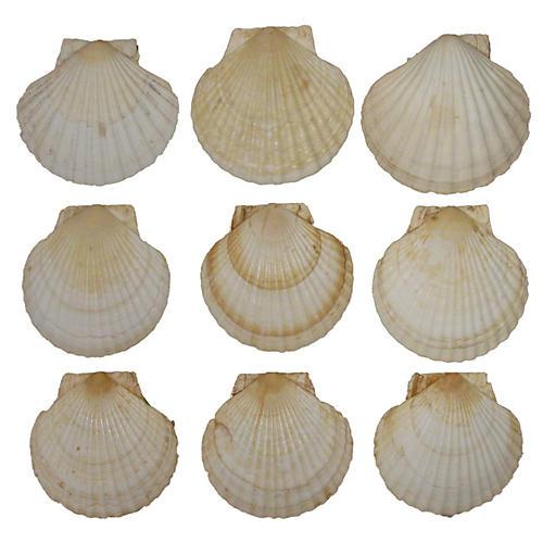 Mediterranean Scallop Shells, S/9