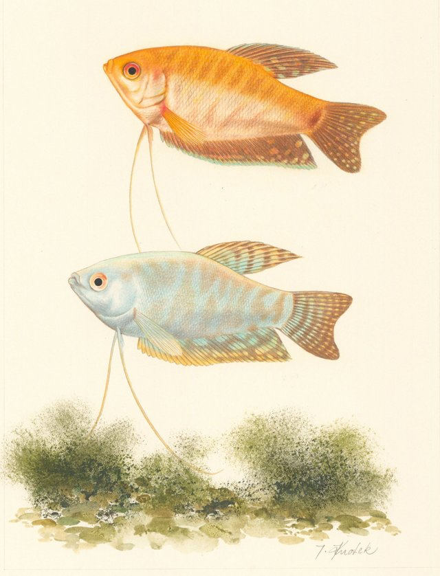 Southeast Asian Fish Drawing