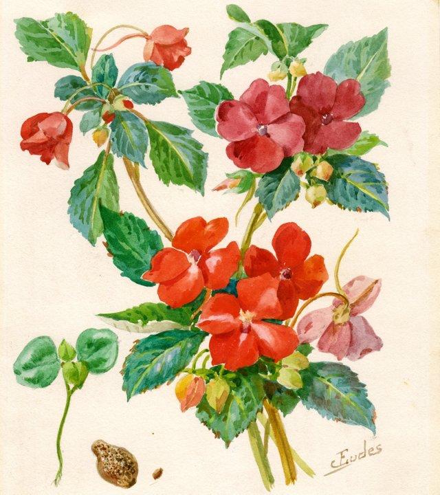 Watercolor of Impatiens, C. 1900