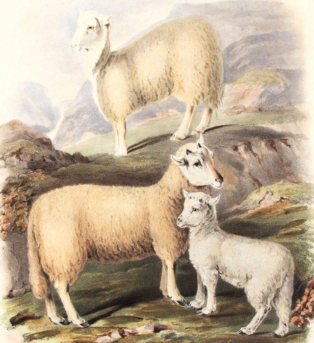 Hand-Colored Sheep,  1842