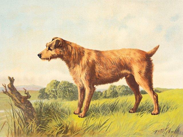 Irish Terrier, C. 1881