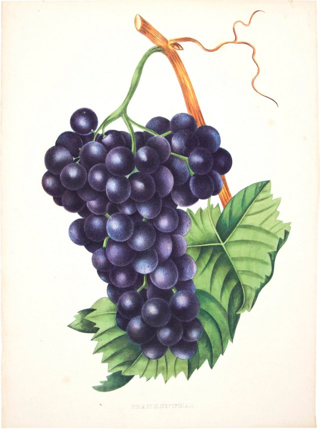 Hand-Colored Wine  Grapes,    1855