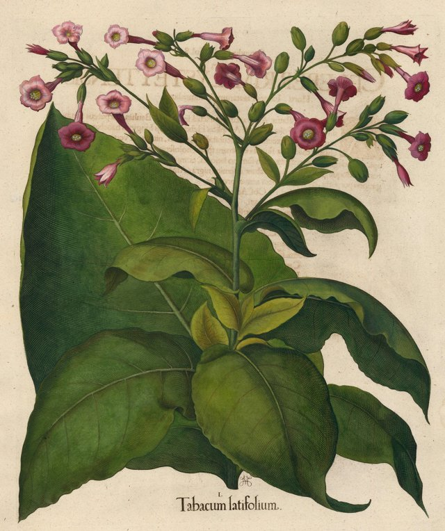 Hand-Colored Tobacco by Besler, 1713