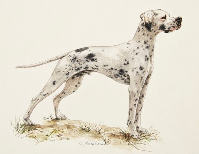 Harlequin Great Dane Portrait